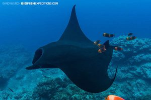 Black manta cleaned by clarion angelfish at Socorro