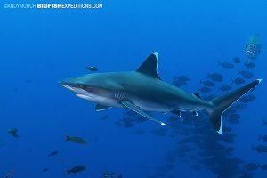 silvertip shark diving at Socorro