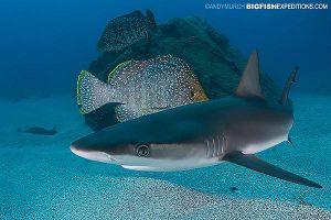 Baby Galapagos shark