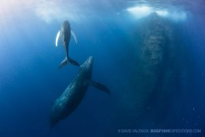 Humpback whales at Roca Partida diving