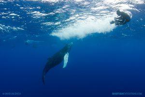 humpback whale calf and diver at Socorro