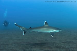 Silvertip shark diving in Mexico