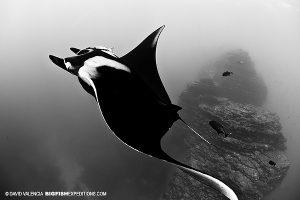 Manta rays at the boiler