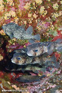 Pufferfish at Roca Partida
