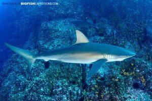 Galapagos shark at Roca Partida