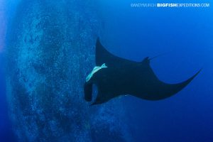 Black Manta Ray at Roca Partida
