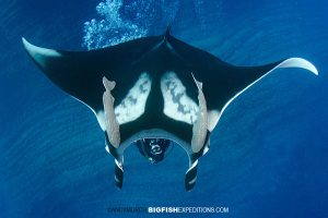 Diver blowing bubbles on a manta at the boiler