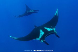 Two mantas swimming at the boiler at San Benedicto Island.