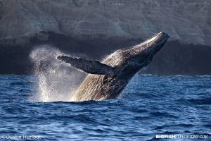 Humpback Whale breaching at San Benedicto Island in the Revillagigedo Archipelago