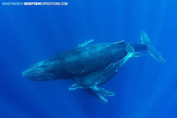 Humpback mom and calf at socorro island
