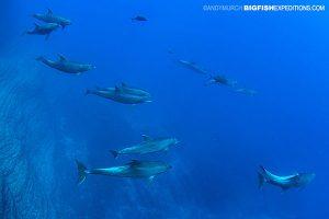 Socorro Bottlenose Dolphins