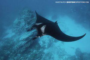 Manta diving at Rock Oneal
