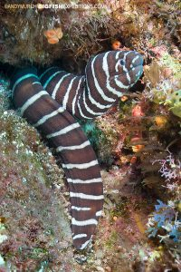Zebra moray at Socorro Island diving