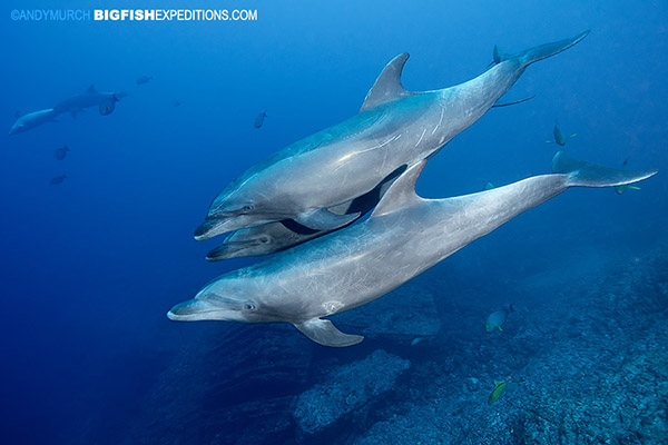 Diving with bottlenose dolphins at the boiler