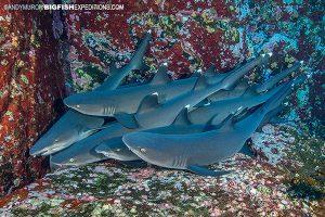 Whitetip reef sharks sleeping at Roca Partida