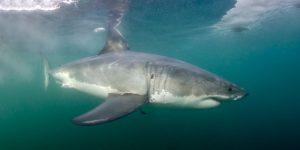South African Shark Safari