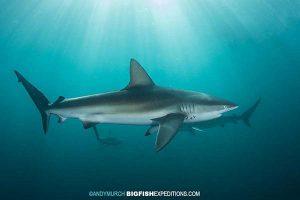 Dusky sharks on the Sardine Run