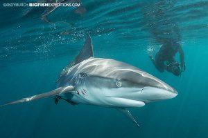 Sardine Run shark diving