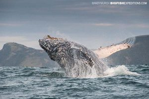Breaching humpback whale in South Africa