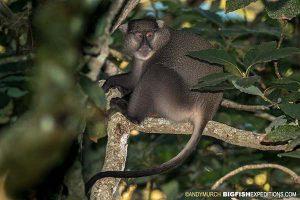 Samango monkey in a tree