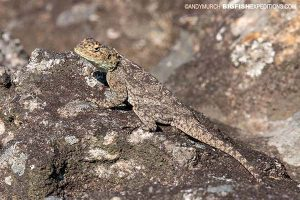 Rock agama South Africa