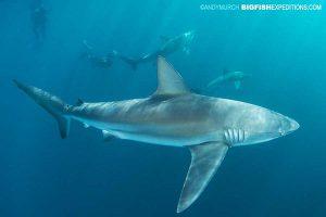 Dusky shark diving on the Sardine Run in South Africa.