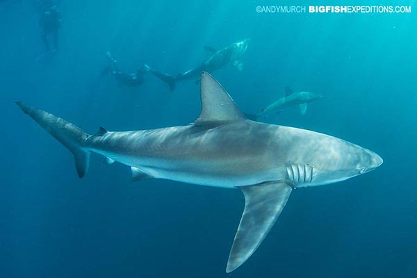 Dusky shark diving on the Sardine Run in South Africa.