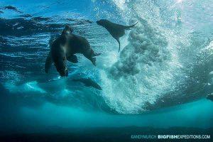 Cape fur seal diving