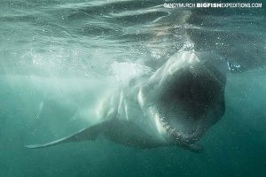 Great white shark attacking seal in South Africa