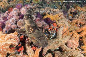 Dark Shyshark diving
