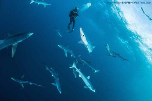 Diving with lots of blue sharks on the South Africa Shark Diving Safari