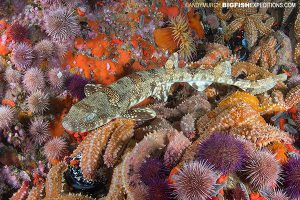 Diving with puffadder shysharks in Cape Town