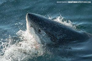 White shark diving in South Africa