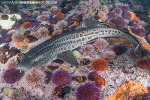 Leopard catshark diving in South Africa
