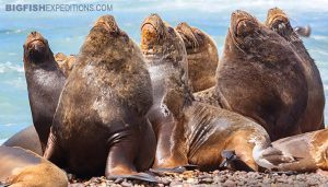 South American Sea Lions on Pensula Valdez