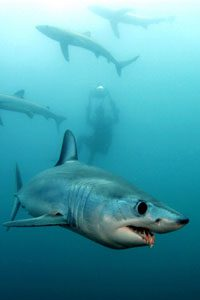 dive with blues and makos