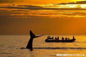 Southern right whale next to a boat