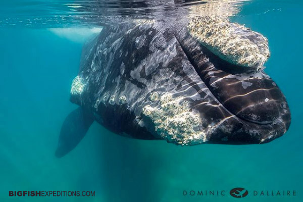 Snorkelling with southern right whales