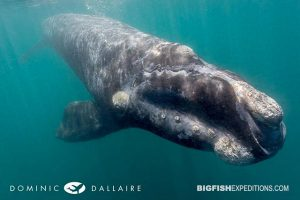 Southern right whale underwater