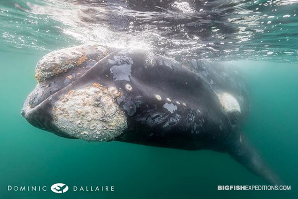 Southern right whale snorkeling