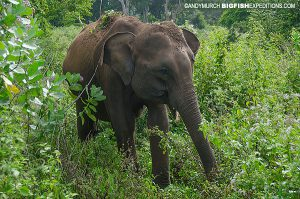 elephant in Wilpattu