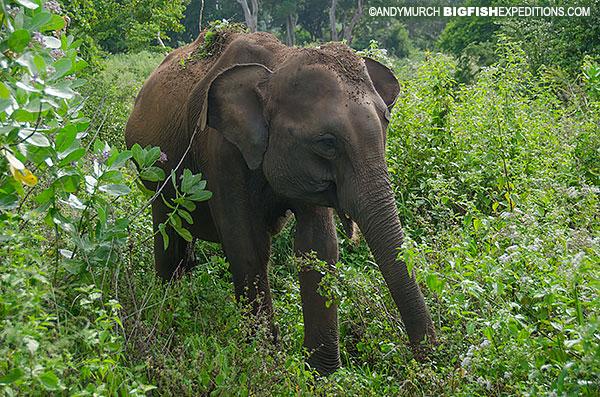 elephant in Wilpattu