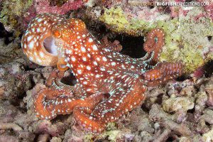 Starry Night Octopus diving Philippines