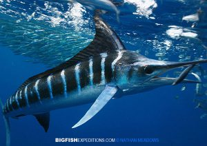 Striped Marlin Diving