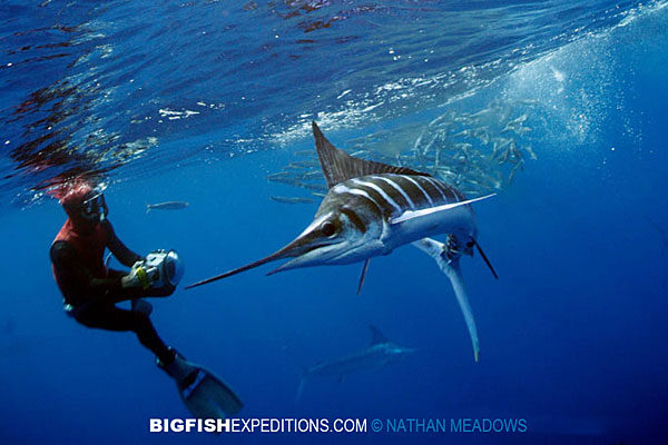 diving with striped marlin