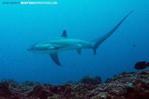 Pelagic thresher shark swims over the reef