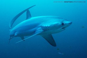 A large thresher shark makes eye contact