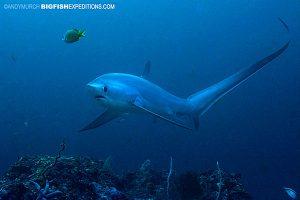 Thresher shark diving in Malapascua