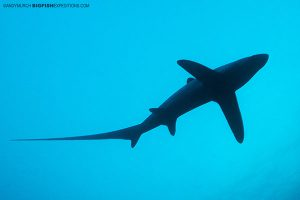 Diving with thresher sharks in the Philippines