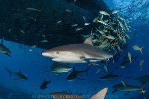 Caribbean reef shark diving at tiger beach